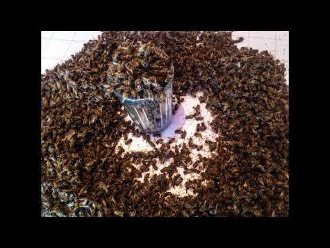 Пчелиный подмор – что это такое, чем он полезен и как его применять?