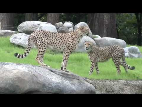 الفهود  في حديقة الحيوانات في ولاية أوريغون