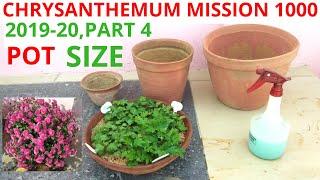 Pot Size For Chrysanthemums , Chrysanthemum Mission 1000, 2019-20,Part 4