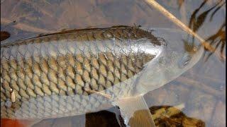 Рыба голавль на что клюет