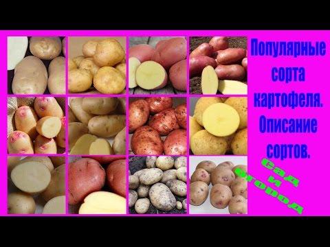 Популярные сорта картофеля. Описание сортов. Сад и огород выпуск 151