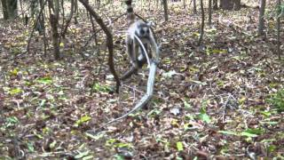 preview picture of video 'Berenty 2010 - Maki Catta - Part.2 - Madagascar - Fort-Dauphin'
