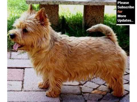 Collection Of Cute Pictures Of Dog Terrier Type | Norwich Terrier Mp3