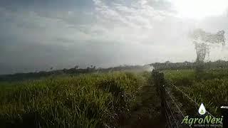 Irrigação de pastagem – Gado de corte