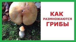 Лютые приколы. Как размножаются грибы?