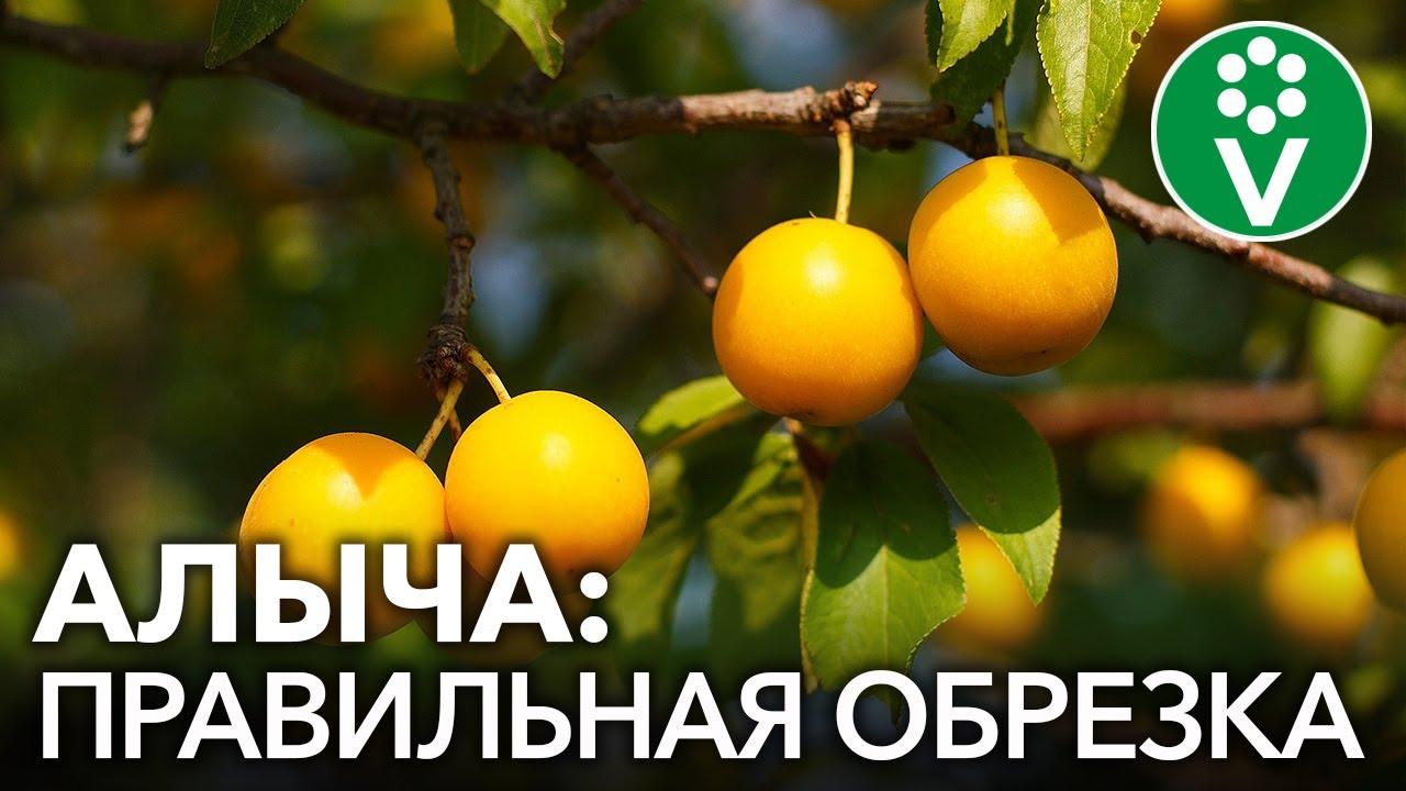 ОБРЕЗКА СЛИВЫ И АЛЫЧИ: 2 простых приема для получения вкуснейшего урожая!