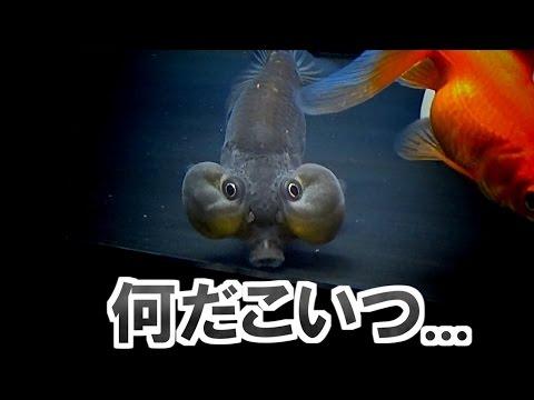 【アクアリウム】 水泡眼来たよ! 【黒底金魚水槽】