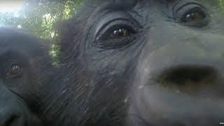 Mirror Mirror: Gorillas React To Their Reflection | Gorilla Family and Me | BBC Earth