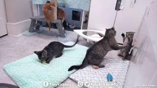 Nelia vs. Impudent Kitten!  TinyKittens.com
