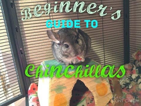 Beginner's Guide To Chinchillas