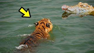 LA LEY DEL MÁS FUERTE | E.p 32 | 10 Peleas Animales | Tiger vs Crocodile, Which is Stronger?