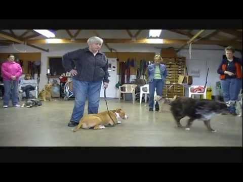 A Pit Bul as a Service Dog? Meet Mary!l