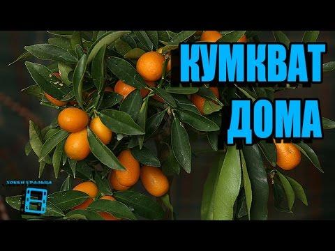 Кумкват (кинкан). #Цитрусовые