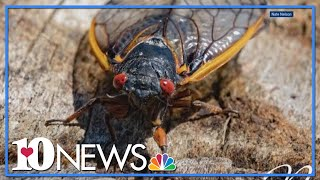 17-year Cicadas To Start Buzzing In East Tennessee Next Year