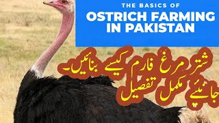 Ostrich Farming in Pakistan || How To Start Ostrich Business in Pakistan | Malik Farm,s Ostriches