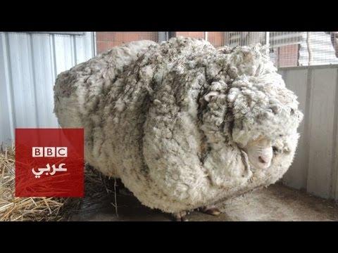 خروف أسترالي صوفه يزن 40 كيلوغراما