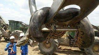 5 самых ОГРОМНЫХ змей когда либо найденных человеком
