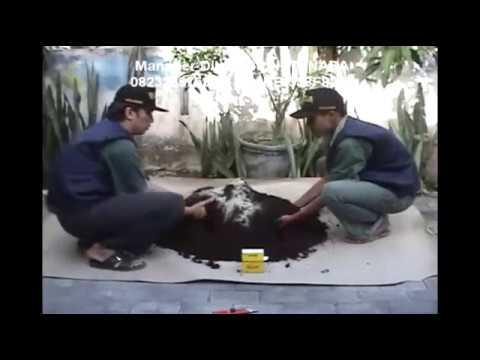 Astragalus herbal dengan potensi