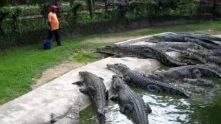 Crocodile Feeding at Langkawi Crocodile Farm...