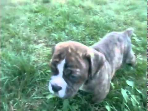 Olde English Bulldogge Male Puppy Brindle & White