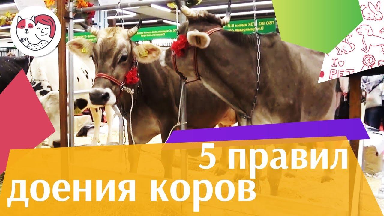 5 важных правил доения коровы ручным методом на ilikepet