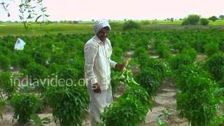 Radish Farm, Zainabad Village