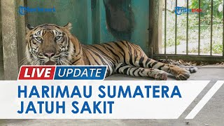 Harimau Sumatera di Medan Zoo Tampak Kurus, Dokter: Sakit Diare dan Muntah Beberapa Bulan