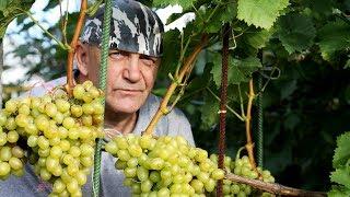 Выращивание винограда в средней полосе России: основные правила