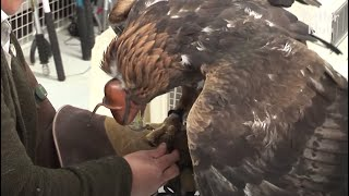 Will This Golden Eagle Shot By A Gun Get Over The Trauma And Fly Again? (Part 2) | Kritter Klub