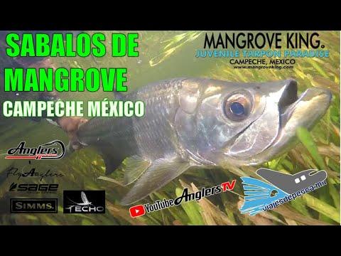 Pescando Sábalos con Mosca en Mangrove King Fishing Lodge, Campeche, México
