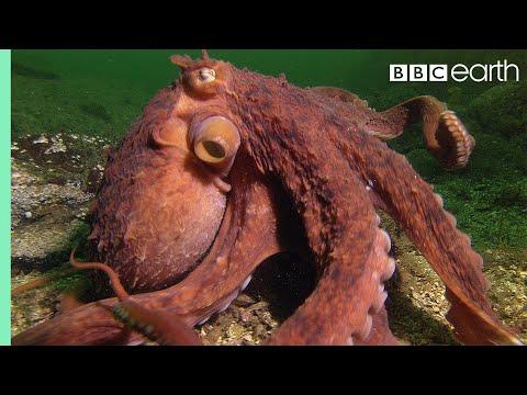 Chobotnice krade rybáři kraby