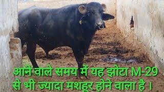 hldb hisar bull list - मुफ्त ऑनलाइन वीडियो
