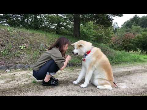 秋田犬パティ  お姉ちゃんはぼくのお手が可愛いくて仕方ないんだって🐶💕