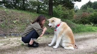 秋田犬パティ  お姉ちゃんはパティのお手🐶が可愛くて仕方ない😅💕