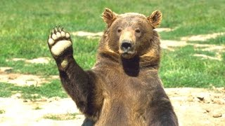 Bears - A Cute And Funny Bear Videos Compilation || NEW HD