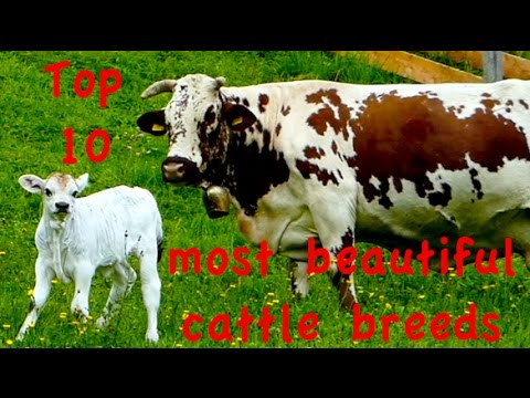 , title : 'Top10 Most beautiful cattle breeds - Jersey, Dutch Belted Galloway, Higland, Heck, Belgian Blue cow