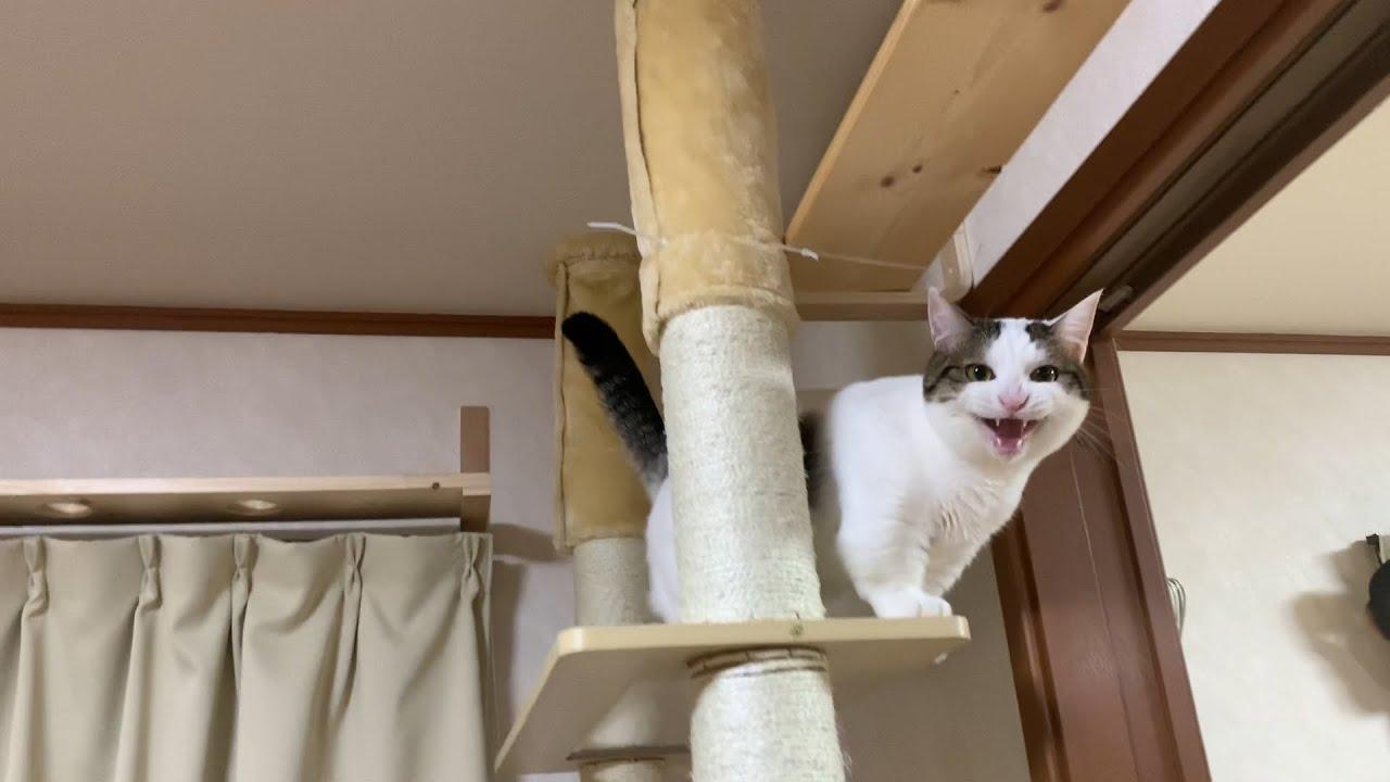 我を忘れて道を忘れる猫 #猫 #cat