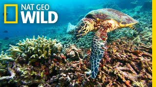 A Sea Turtle's Journey to a Nesting Ground | Nat Geo Wild