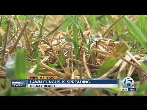 Video Lawn fungus is spreading