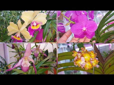 Новогоднее цветение орхидей!  С НАСТУПАЮЩИМ! ;)