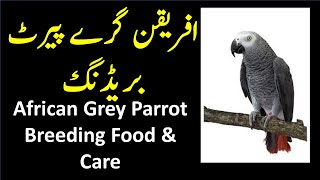 African Grey Parrot | Grey Parrot Food, Care & Breeding
