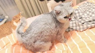[Cat Live] I can't believe my cats pee on my bed twice……