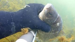 Подводная охота на малых реках,Pelengas eco 55,охота в траве.Спас карася .