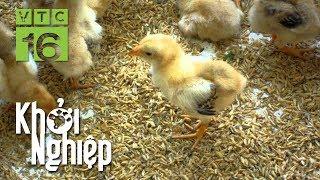 """Đừng lơ đãng trong quá trình nuôi gà: """"Sai 1 ly đi 1 dặm"""" - Khởi nghiệp 422   VTC16"""