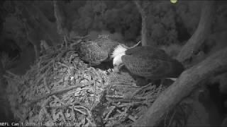 Samson and Gabby work on nest after dark. 11-6--19