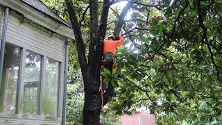 Mooreland House - Trimming Magnolia Trees