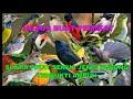 Download Lagu Suara Pikat MP3 Semua Jenis Burung Terbukti Sangat Ampuh Mp3 Free