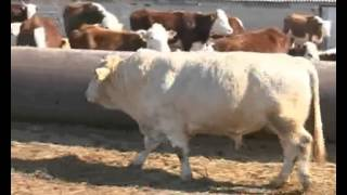 Аграрии ЗКО развивают племенное животноводство