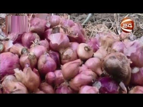 মাদারীপুরে পেঁয়াজের ফলন বেশি হলেও মূল্য আকাশচুম্বী