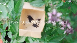 How to Plant and Harvest Thai Basil Seeds